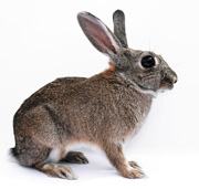 Rabbit with big ears