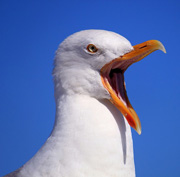 Seagull crying